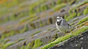 Pied Wagtail on moss roofimages