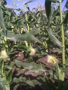 Swee Corn 2 9 aug 2012