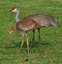 220px-Grus_canadensis